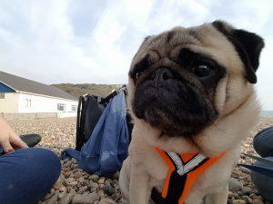 Dog enjoying the dog friendly beach at Beer in Devon