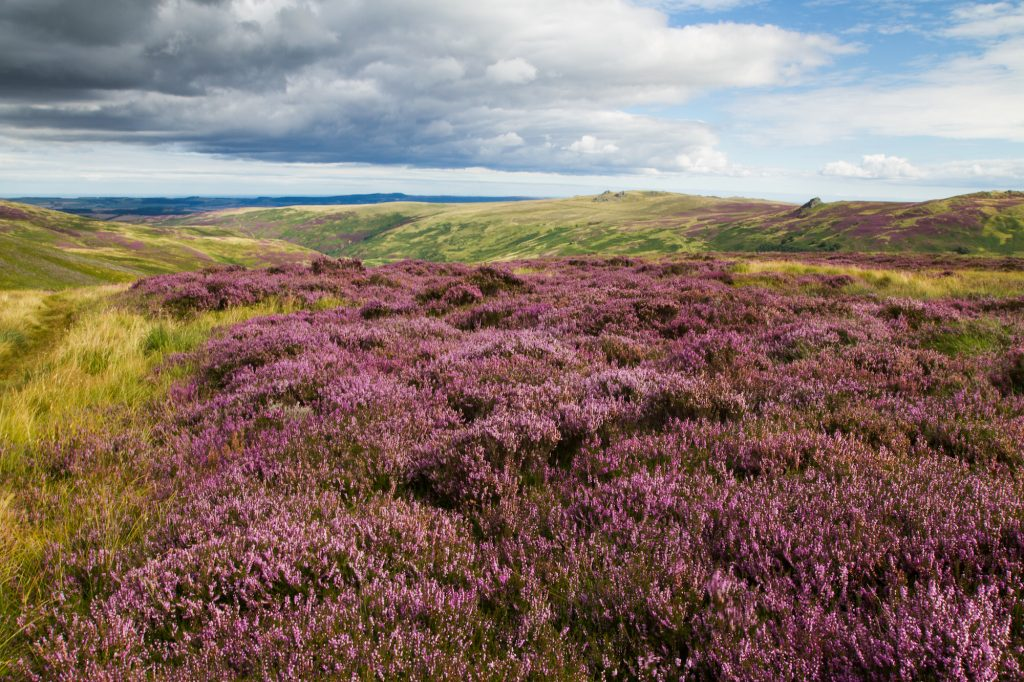 Heather across the moors Northumberland